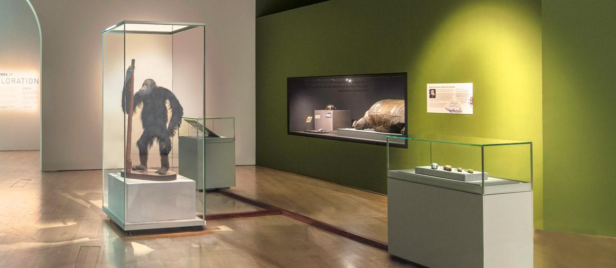Natural History Museum Of London (Wallace's orang-utan / Pongo pygmaeus)